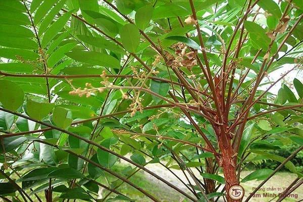 Cách dùng cây mật nhân