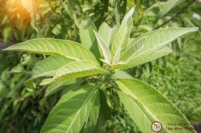 cây từ bi